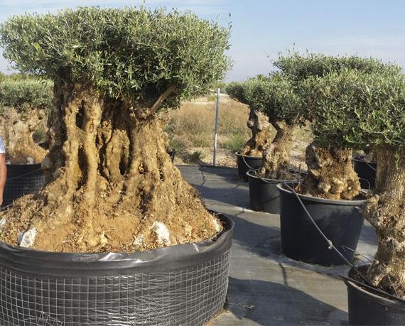 Decorar Jardines Y Terrazas En Cáceres Ornamental Treeplant