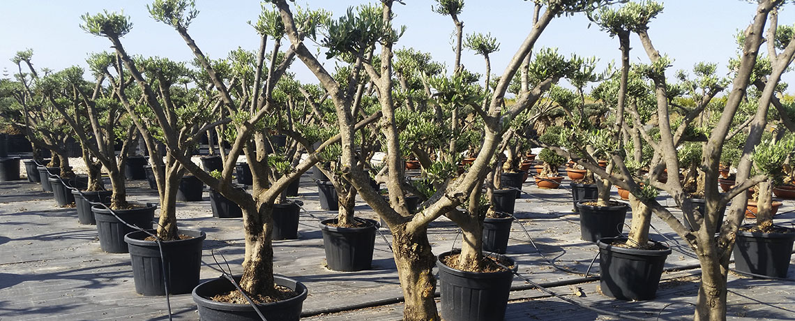 Ornamental Treeplant Services S.L.